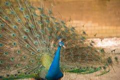 Bild, das von den Pfaus zeigen schöne Federn ist Stockbild