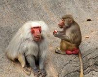 Bild der Affefamilie Stockfotografie