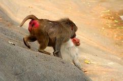 Bild der Affefamilie Stockfotos