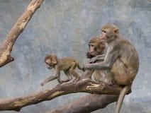 Bild der Affefamilie Lizenzfreie Stockfotografie