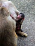 Bild der Affefamilie mit dem Baby Stockfotos