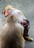 Bild der Affefamilie mit dem Baby Lizenzfreies Stockbild