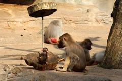 Bild der Affefamilie mit dem Baby Lizenzfreie Stockfotografie