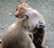 Bild der Affefamilie mit dem Baby Stockfotografie