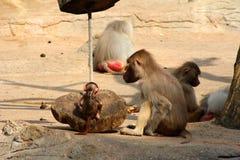 Bild der Affefamilie mit dem Baby Stockbild