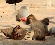 Bild der Affefamilie mit dem Baby Lizenzfreie Stockbilder