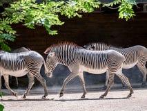 Bild der Herde der Zebras, die durch den Sonnenschein in einem Zoo gehen stockbild