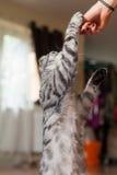 Bild der Katze, die durch Frau einzieht Köstlich!! Stockfotos