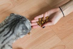 Bild der Katze, die durch Frau einzieht Köstlich!! Lizenzfreie Stockfotografie