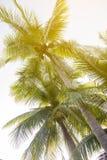 Bild der KokosnussPalme mit Weinleseeffekt Stockfotos