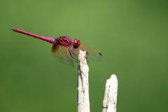 Bild der Libelle gehockt auf einem Baumast Stockbilder