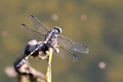 Bild der Libelle gehockt auf einem Baumast Lizenzfreie Stockbilder