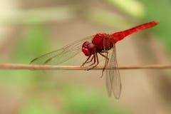 Bild der Libelle gehockt auf einem Baumast Lizenzfreie Stockfotos