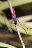 Bild der Libelle gehockt auf einem Baumast Stockbild