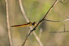 Bild der Libelle gehockt auf einem Baumast Stockfotografie