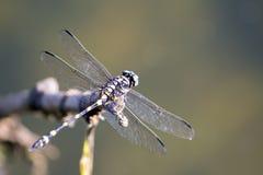 Bild der Libelle gehockt auf einem Baumast Stockfoto