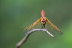Bild der Libelle gehockt auf einem Baumast Lizenzfreies Stockfoto