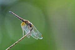 Bild der Libelle hockte auf einem Baumast auf Naturhintergrund Stockbilder