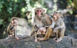 Bild der Makaken-Rhesusfaktorfamilie lizenzfreies stockbild