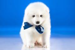 Bild der netten Welpe Samoyedzucht Lizenzfreie Stockfotos