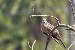 Bild der orientalischen Turteltaube, Orientturteltaube, Streptopelia orientalis stockfoto
