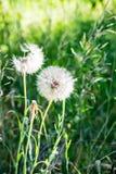 Bild der weißen Blowballs in einer grünen Sommerwiese im Morgensonnenlicht Stockfoto