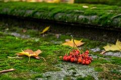 Bild des Bündels von ashberry auf dem moosigen Grab im Friedhof Stockbilder