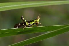 Bild des Conjoined Stellen-Affe-Heuschreckenmannes, Stockfotografie