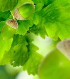 Bild des Eichenblattes mit Eicheln Stockbild