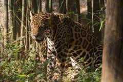 Bild des Jaguars am Zoo in Thailand, Asien Lizenzfreies Stockfoto