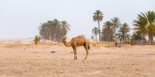 Bild des Kamels in der Wüste Sahara auf HintergrundPalmen, Tunesien, Afrika lizenzfreie stockfotos