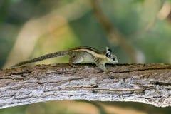 Bild des kleinen gestreiften Nagetiers des Streifenhörnchens auf Baum Stockbilder