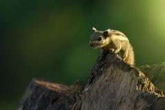 Bild des kleinen gestreiften Nagetiers des Streifenhörnchens auf Baum tiere Stockfotos