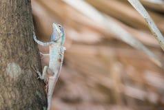 Bild des makro blauen Chamäleons auf dem Baum, natürliche Farbänderung Stockfoto