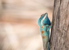 Bild des makro blauen Chamäleons auf dem Baum, natürliche Farbänderung Lizenzfreie Stockfotos