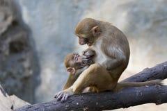 Bild des Mutteraffen und Baby albern das Sitzen herum Lizenzfreies Stockfoto