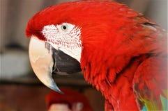 Bild des roten Keilschwanzsittichs lizenzfreies stockfoto