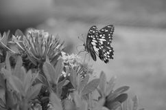 Bild des Schmetterlinges mit ixora Blumen Lizenzfreie Stockfotos