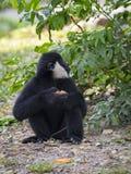 Bild des schwarzen Gibbons weiß--Cheeked Gibbon, der Lebensmittel isst Stockbilder
