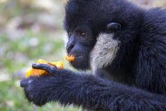 Bild des schwarzen Gibbons weiß--Cheeked Gibbon, der Lebensmittel isst Stockfotografie
