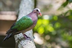 Bild des Vogels gemeiner Emerald Dove auf Naturhintergrund Stockfotos
