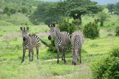 Bild des wilden Tieres Savanne Zebra-Botswanas Afrika Stockfotos