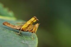 Bild einer braunen Affeheuschrecke Lizenzfreie Stockbilder