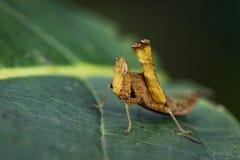 Bild einer braunen Affeheuschrecke Stockfotografie