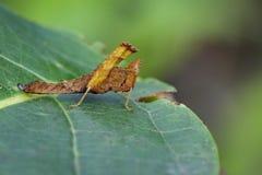 Bild einer braunen Affeheuschrecke Lizenzfreies Stockfoto