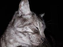 Bild einer Katze der getigerten Katze auf Grau Lizenzfreie Stockbilder