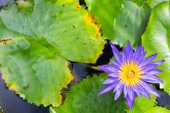 Bild einer Lotosblume auf dem Wasser Stockbilder