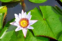Bild einer Lotosblume, selektiver Fokus Stockfotografie
