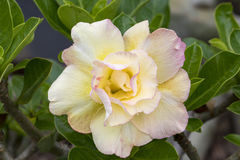 Bild einer schönen Azalee blüht im Garten Lizenzfreie Stockfotos