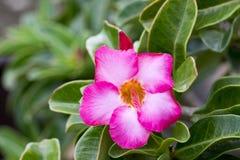 Bild einer schönen rosa Azalee blüht im Garten Stockfoto